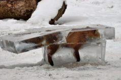 La insólita imagen de un zorro congelado se convierte en símbolo de la ola de frío en Europa